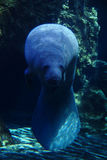 Manatee in aquarium. Royalty Free Stock Photo