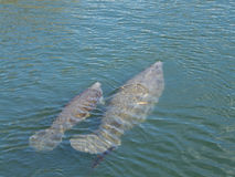 Manatee with Baby. An endangered West Indian manatee mother and her young in Crystal River, Florida, show scars from boat propellers. The mother is trailing Royalty Free Stock Photography