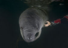 Manatee - Back Scratcher. A young Florida Manatee (Trichechus manatus latirostrus) gets a back scratch from a snorkeler. The young Manatee then returns to the Royalty Free Stock Photos