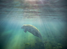 Manatee Basking In Evening Sunset Royalty Free Stock Images