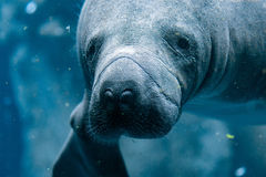 Manatee close up portrait looking at you Royalty Free Stock Image