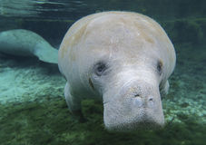 Manatee Curiosity - Fanning Springs Stock Photo