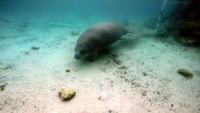 Manatee de la vaca de mar subacuático en Crystal River almacen de video