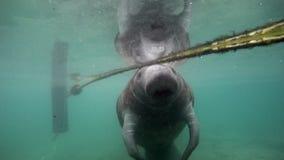 Manatee del lamantino dell'Amazzonia subacqueo in Crystal River stock footage