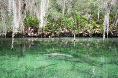 Manatee dell'India Occidentale, primavera blu, Florida, U.S.A. Immagine Stock Libera da Diritti