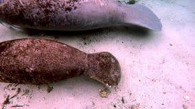 Manatee e vitello del lamantino dell'Amazzonia subacquei in Crystal River archivi video