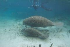 Manatee e vitello di Florida subacquei con Snorkelers fotografia stock