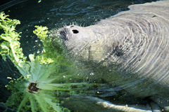 Manatee eating Royalty Free Stock Image