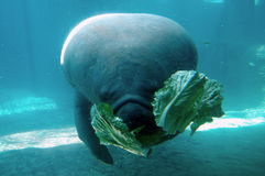 Manatee Eating Lettuce. A manatee underwater eating lettuce Royalty Free Stock Photos
