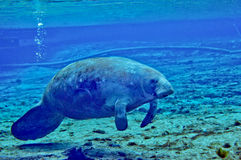 Manatee - Fanning Springs Stock Photos