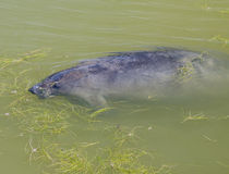 Manatee Feeding Royalty Free Stock Photography