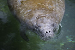 A manatee. Royalty Free Stock Images