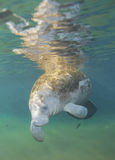 Manatee Greeting - Fanning Springs Stock Image