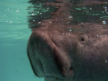 Manatee just under surface Stock Images