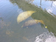 Manatee momma and baby in canal Royalty Free Stock Image