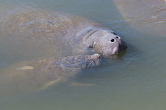 Manatee Mother and Youngster Stock Images