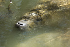 Manatee with nose just above the surface, Merritt Island, Florid Stock Photo