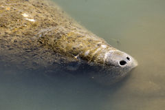 Manatee with nose just above the surface, Merritt Island, Florid Stock Photos