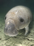 Manatee Portrait Above Royalty Free Stock Images