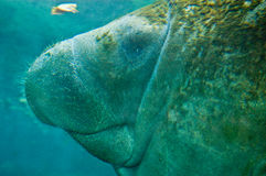 Manatee Profile Stock Photography