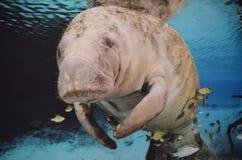 Manatee que nada bajo el agua fotografía de archivo libre de regalías