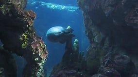 Manatee que realiza cambios en un tanque del acuario de Génova en 4k metrajes