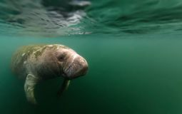 Manatee reflected under water`s surface royalty free stock images