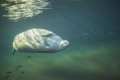 Manatee Rolling - Fanning Springs Stock Photos