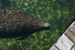 Manatee sea cow of Florida Stock Photo