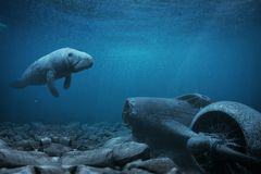 Manatee on the site of the plane crash. Manatee floats over a sunken airplane in the ocean Royalty Free Stock Photo