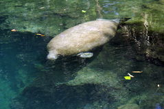 MANATEE AT SPRINGS. THIS IS A FLORIDA MANATEE SWIMMING IN THE SPRINGS Stock Image