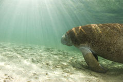 Manatee with Sunrays Stock Image