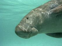 Manatee at surface Royalty Free Stock Images