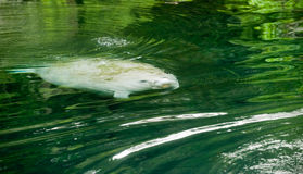 Manatee surfacing Stock Photos