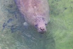 Manatee Surfacing The Water. A manate is surfacing the water to breathe air royalty free stock images