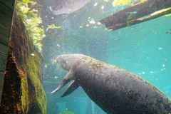 Manatee is swimming. In an aquarium. Manatees family Trichechidae, genus Trichechus are large, fully aquatic, mostly herbivorous marine mammals sometimes known Royalty Free Stock Photography