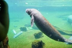 Manatee is swimming. In an aquarium. Manatees family Trichechidae, genus Trichechus are large, fully aquatic, mostly herbivorous marine mammals sometimes known Stock Photos