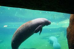 Manatee is swimming. In an aquarium. Manatees family Trichechidae, genus Trichechus are large, fully aquatic, mostly herbivorous marine mammals sometimes known Royalty Free Stock Images