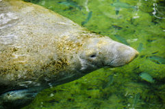 Manatee Swimming on the Surface Stock Images