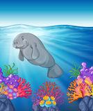 Manatee swimming under the ocean Royalty Free Stock Image