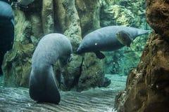 Manatee swimming underwater stock photography