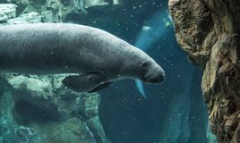 Manatee swimming underwater royalty free stock images