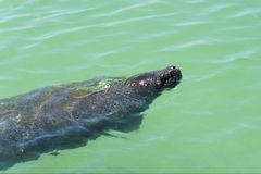 Manatee Trichechus swimming in the warm Gulf of Mexico. Stock Images