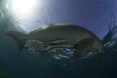 Manatee viewed from below. A manatte swimming close to the surface of the water, as viewed from below Stock Photography