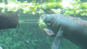 Manatee in the water stock video footage