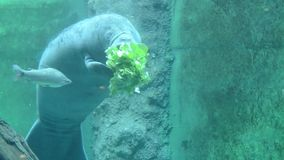 Manatee in the water stock video