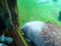 Manateen äter grönsallat lager videofilmer