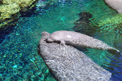 Manatees. Two manatees next to each other in water stock image