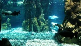 Manatees in the aquarium stock video footage