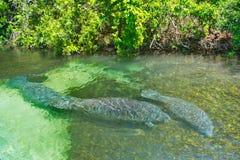 Manatees de la Florida Imagenes de archivo